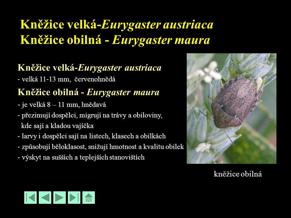 Kněžice velká-Eurygaster austriaca Kněžice obilná - Eurygaster maura Kněžice velká-Eurygaster austriaca - velká 11-13 mm, červenohnědá Kněžice obilná - Eurygaster maura - je velká 8 – 11 mm, hnědavá - přezimují dospělci, migrují na trávy a obiloviny, kde sají a kladou vajíčka - larvy i dospělci sají na listech, klasech a obilkách - způsobují běloklasost, snižují hmotnost a kvalitu obilek - výskyt na sušších a teplejších stanovištích kněžice obilná
