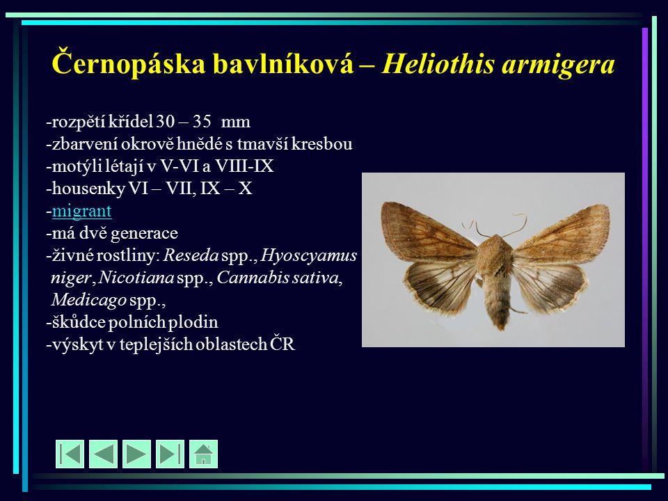 Černopáska bavlníková – Heliothis armigera -rozpětí křídel 30 – 35 mm -zbarvení okrově hnědé s tmavší kresbou -motýli létají v V-VI a VIII-IX -housenk