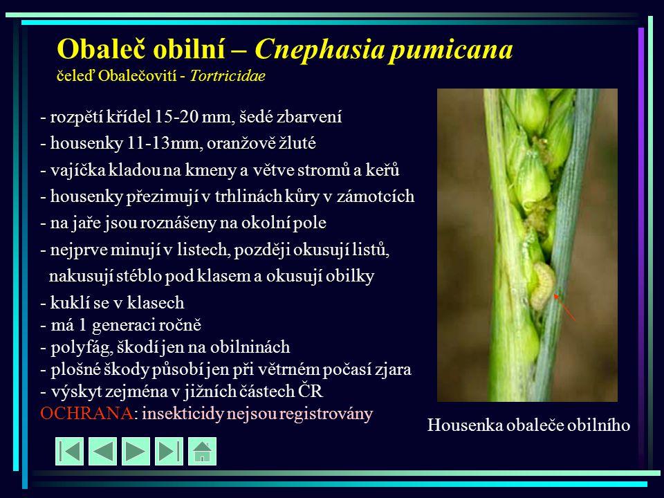 Obaleč obilní – Cnephasia pumicana čeleď Obalečovití - Tortricidae - rozpětí křídel 15-20 mm, šedé zbarvení - housenky 11-13mm, oranžově žluté - vajíč