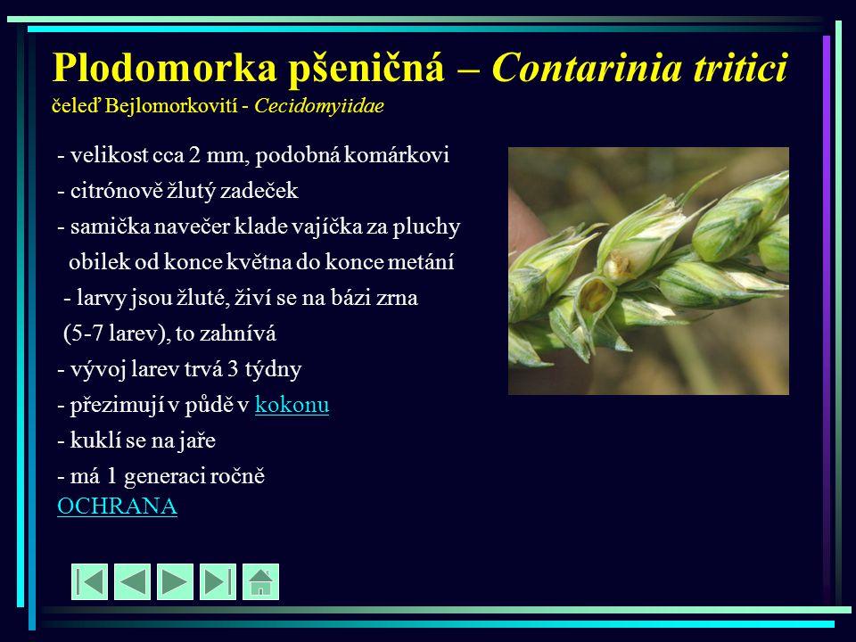 Plodomorka pšeničná – Contarinia tritici čeleď Bejlomorkovití - Cecidomyiidae - velikost cca 2 mm, podobná komárkovi - citrónově žlutý zadeček - samič