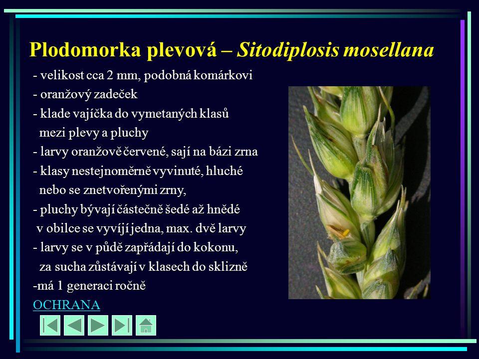 Plodomorka plevová – Sitodiplosis mosellana - velikost cca 2 mm, podobná komárkovi - oranžový zadeček - klade vajíčka do vymetaných klasů mezi plevy a