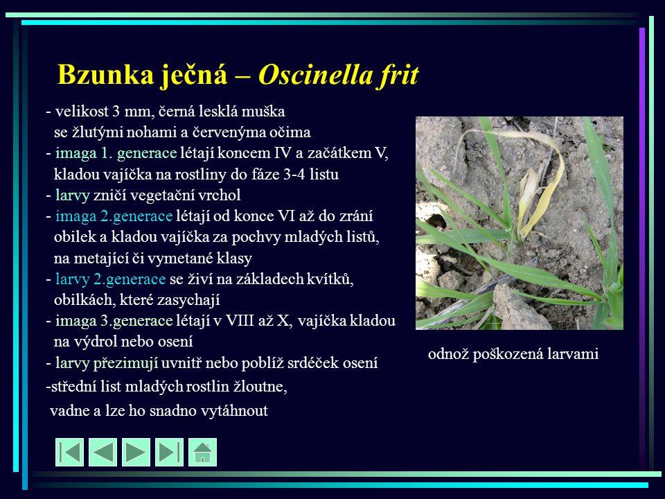 Bzunka ječná – Oscinella frit - velikost 3 mm, černá lesklá muška se žlutými nohami a červenýma očima - imaga 1. generace létají koncem IV a začátkem