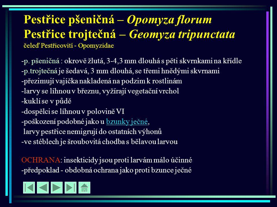 Pestřice pšeničná – Opomyza florum Pestřice trojtečná – Geomyza tripunctata čeleď Pestřicovití - Opomyzidae -p. pšeničná : okrově žlutá, 3-4,3 mm dlou