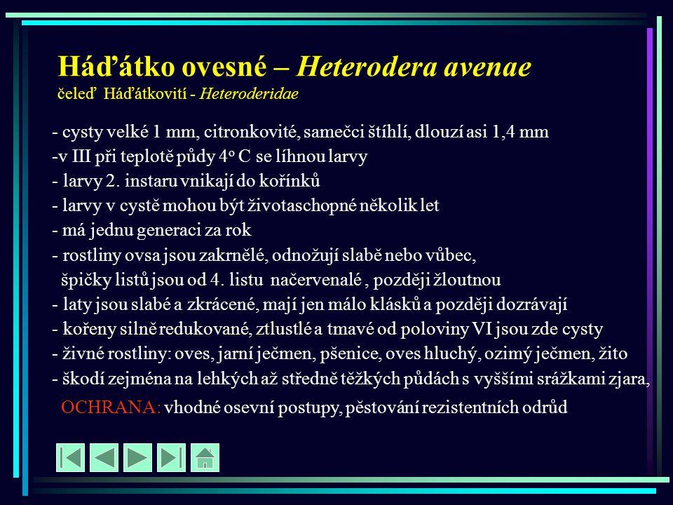 Háďátko ovesné – Heterodera avenae čeleď Háďátkovití - Heteroderidae - - cysty velké 1 mm, citronkovité, samečci štíhlí, dlouzí asi 1,4 mm -v III při