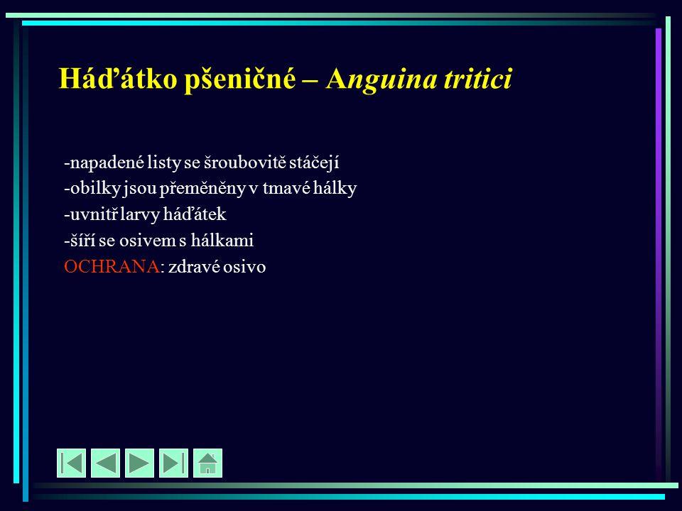 Háďátko pšeničné – Anguina tritici -napadené listy se šroubovitě stáčejí -obilky jsou přeměněny v tmavé hálky -uvnitř larvy háďátek -šíří se osivem s