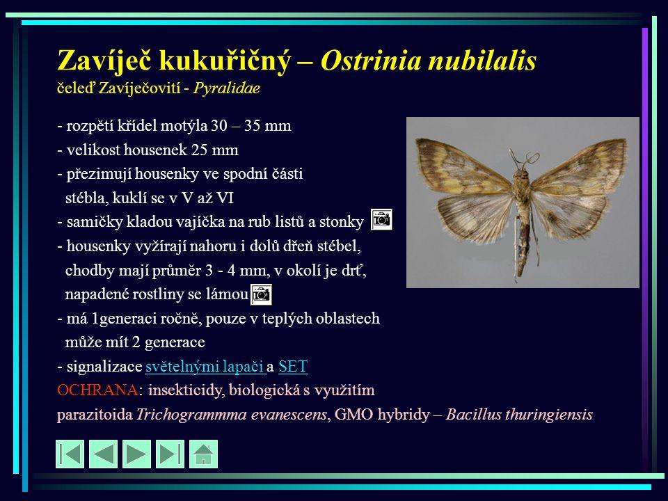 Zavíječ kukuřičný – Ostrinia nubilalis čeleď Zavíječovití - Pyralidae - rozpětí křídel motýla 30 – 35 mm - velikost housenek 25 mm - přezimují housenk
