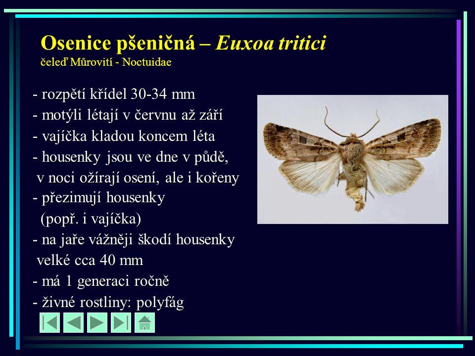 Osenice pšeničná – Euxoa tritici čeleď Můrovití - Noctuidae - rozpětí křídel 30-34 mm - motýli létají v červnu až září - vajíčka kladou koncem léta -