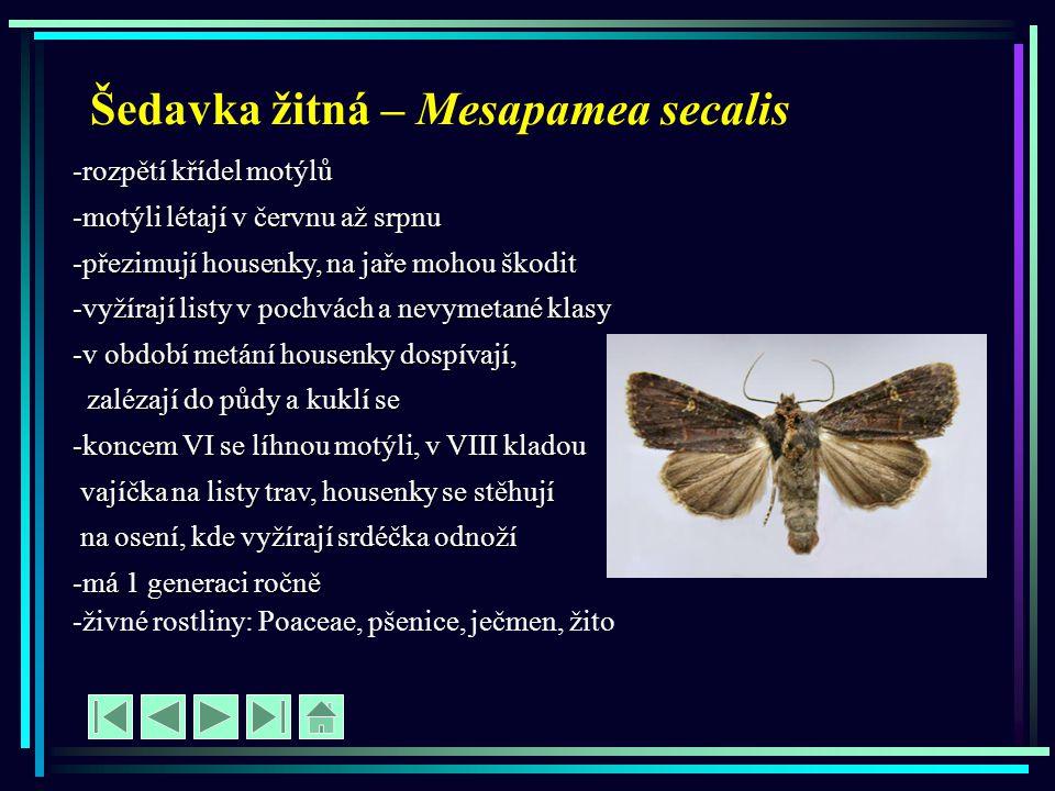Šedavka žitná – Mesapamea secalis -rozpětí křídel motýlů -motýli létají v červnu až srpnu -přezimují housenky, na jaře mohou škodit -vyžírají listy v
