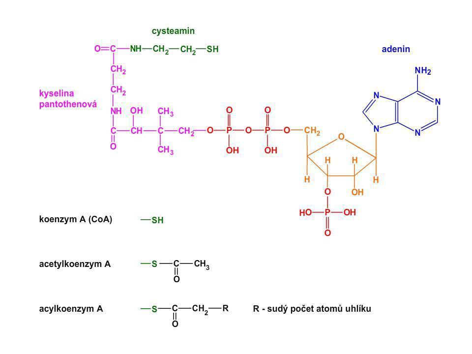 24 2B Alkoholové (ethanolové) kvašení Anaerobní odbourávání pyruvátu 2.