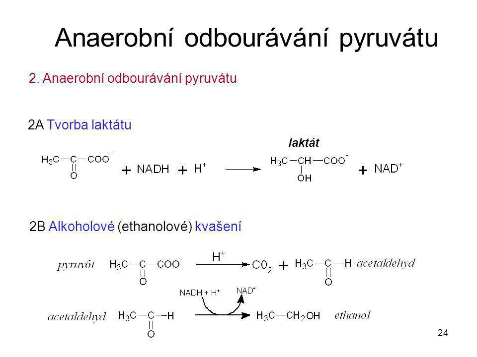 24 2B Alkoholové (ethanolové) kvašení Anaerobní odbourávání pyruvátu 2. Anaerobní odbourávání pyruvátu 2A Tvorba laktátu laktát