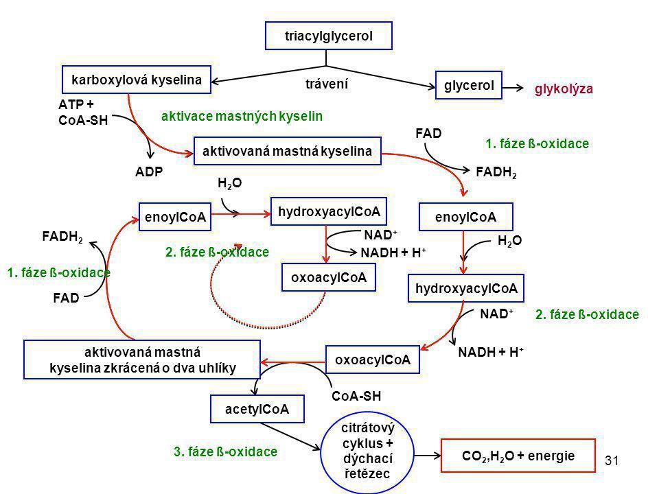 31 triacylglycerol trávení karboxylová kyselina glycerol glykolýza ATP + CoA-SH ADP aktivovaná mastná kyselina FADH 2 FAD enoylCoA H2OH2O hydroxyacylC
