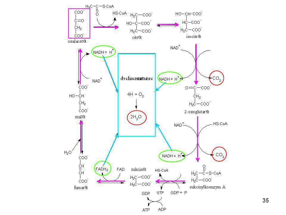 36 Oxalacetát Citrát S-CoA Acetylkoenzym A Isocitrát 2-oxoglutarát Sukcinylkoenzym A Sukcinát Fumarát Malát H S-CoA H GTP H Dýchací řetězec Citrátový cyklus – spustit animaci