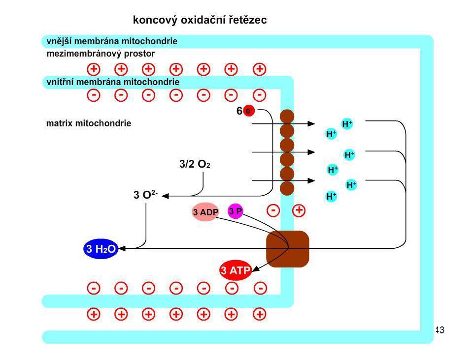 44 Enzymové komplexy (zjednodušené schema) I NADH-CoQ oxidoreduktasa II Sukcinát-CoQ oxidoreduktasa III CoQH 2 – cytochrom c oxidoreduktasa IV Cytochrom c oxidasa V ATP-synthasa Matrix IIIIV + + - - 2H 2 O 4H + 4e - 4H + 2e - V H + ADP + P ATP H+H+ 2e - II 2e - FADH 2 FAD 2H + Koenzym Q I NADH + H + NAD + 2e - 2H + Cyt c O2+O2+ 4H + 2H + 4H +