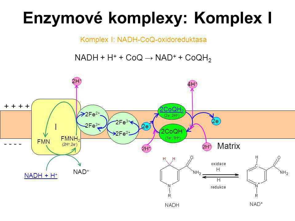 45 Enzymové komplexy: Komplex I Komplex I: NADH-CoQ-oxidoreduktasa NADH + H + + CoQ → NAD + + CoQH 2 I NADH + H + NAD + + + - - 2H + 2Fe 2+ 2Fe 3+ FMN