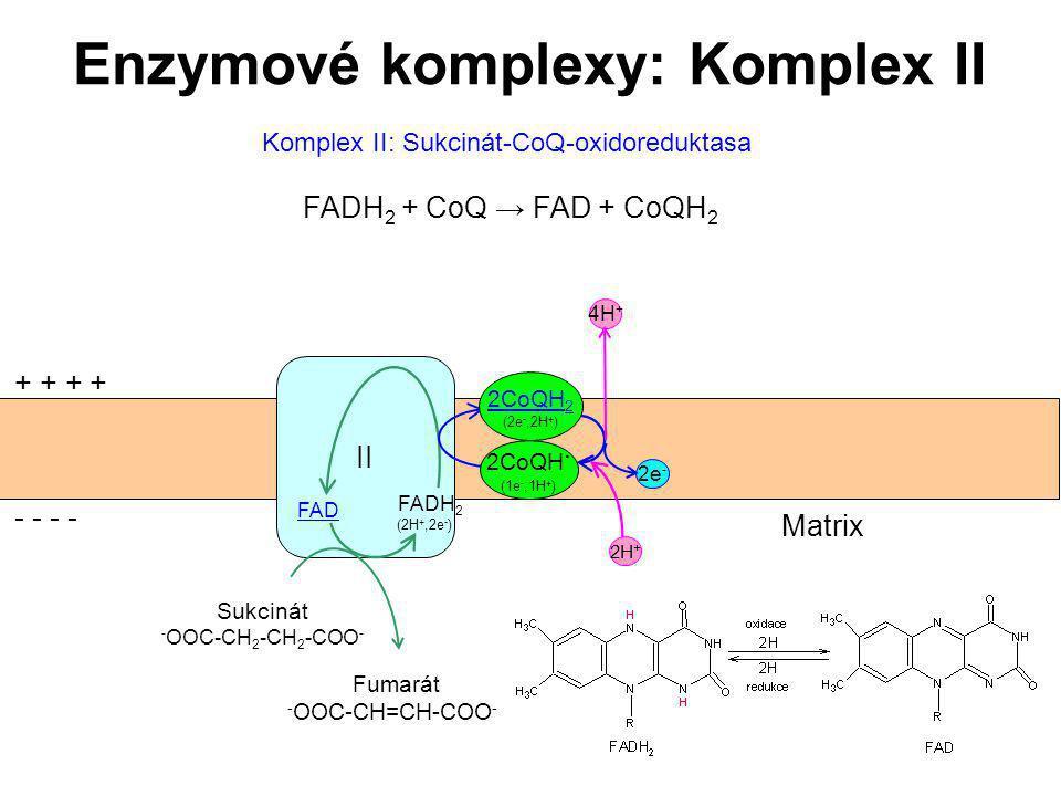 46 Enzymové komplexy: Komplex II II Sukcinát - OOC-CH 2 -CH 2 -COO - Fumarát - OOC-CH=CH-COO - + + - - Matrix 2e - FAD FADH 2 (2H +,2e - ) 2CoQH. (1e