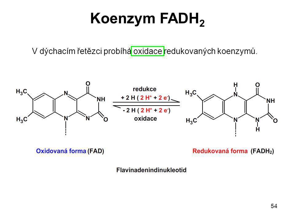 54 V dýchacím řetězci probíhá oxidace redukovaných koenzymů. Koenzym FADH 2
