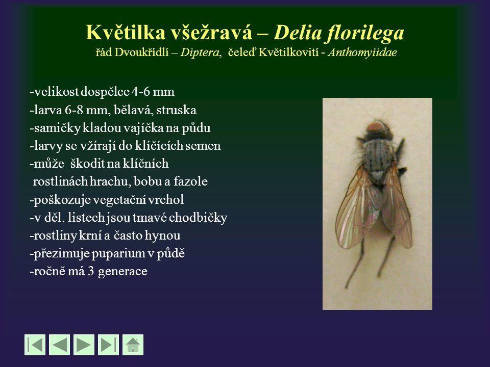 Květilka všežravá – Delia florilega řád Dvoukřídlí – Diptera, čeleď Květilkovití - Anthomyiidae -velikost dospělce 4-6 mm -larva 6-8 mm, bělavá, strus