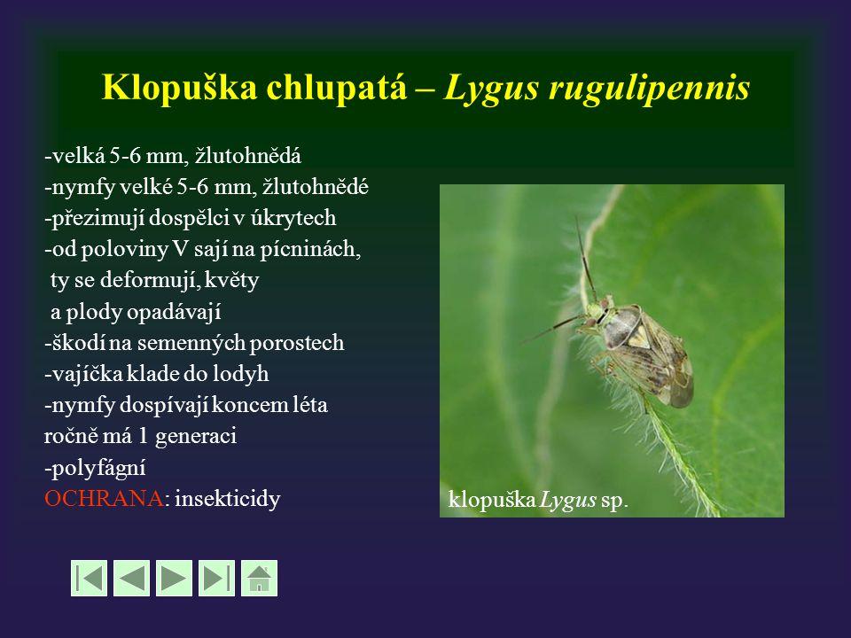 Klopuška chlupatá – Lygus rugulipennis -velká 5-6 mm, žlutohnědá -nymfy velké 5-6 mm, žlutohnědé -přezimují dospělci v úkrytech -od poloviny V sají na