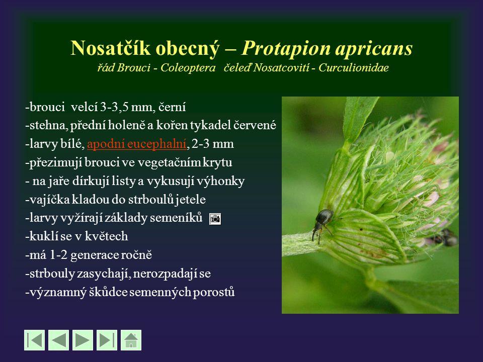 Nosatčík obecný – Protapion apricans řád Brouci - Coleoptera čeleď Nosatcovití - Curculionidae -brouci velcí 3-3,5 mm, černí -stehna, přední holeně a