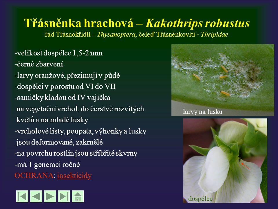 Třásněnka hrachová – Kakothrips robustus řád Třásnokřídlí – Thysanoptera, čeleď Třásněnkovití - Thripidae -velikost dospělce 1,5-2 mm -černé zbarvení