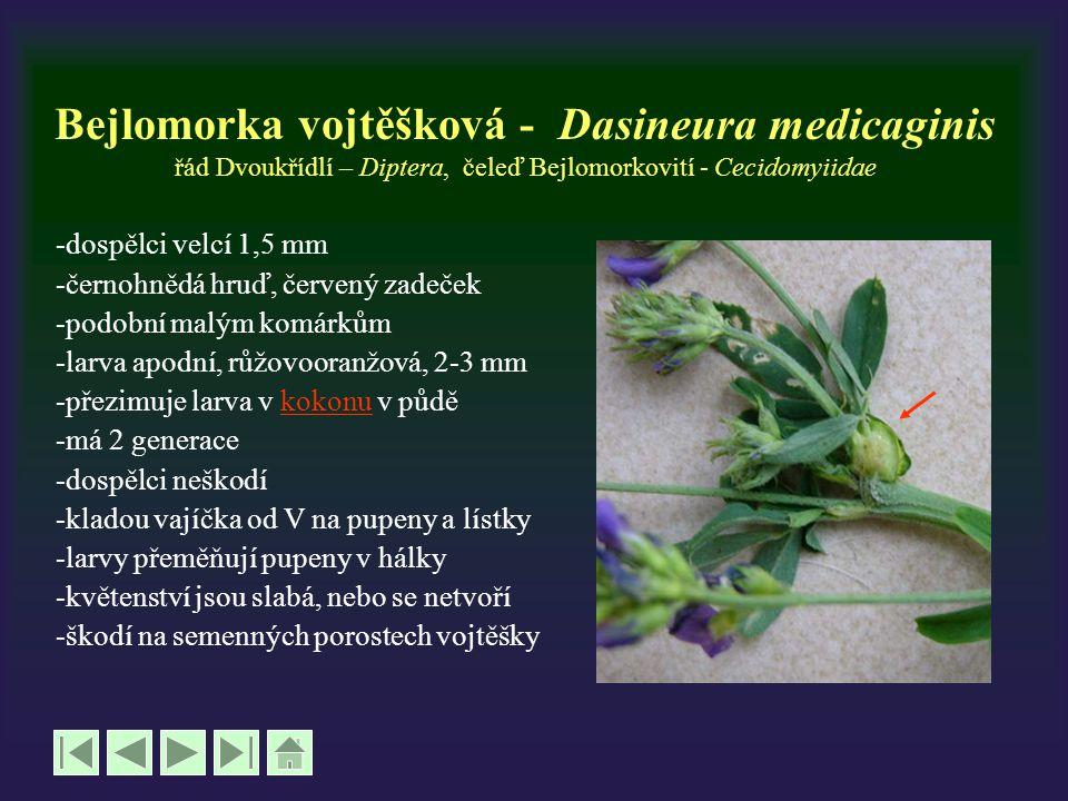 Bejlomorka vojtěšková - Dasineura medicaginis řád Dvoukřídlí – Diptera, čeleď Bejlomorkovití - Cecidomyiidae -dospělci velcí 1,5 mm -černohnědá hruď,