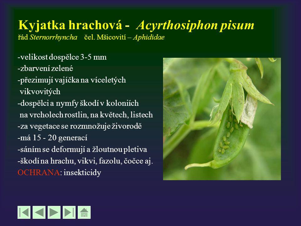 Kyjatka hrachová - Acyrthosiphon pisum řád Sternorrhyncha čel. Mšicovití – Aphididae -velikost dospělce 3-5 mm -zbarvení zelené -přezimují vajíčka na
