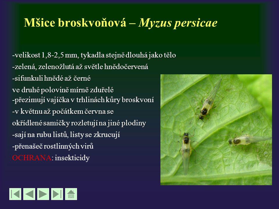 Mšice broskvoňová – Myzus persicae velikost 1,8-2,5 mm, tykadla stejně dlouhá jako tělo -velikost 1,8-2,5 mm, tykadla stejně dlouhá jako tělo -zelená,