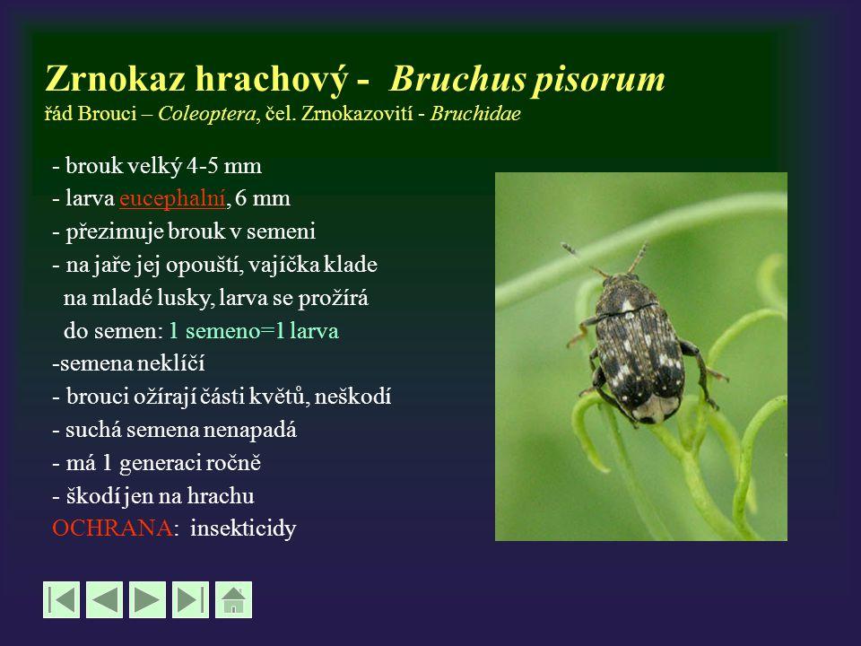 Zrnokaz hrachový - Bruchus pisorum řád Brouci – Coleoptera, čel. Zrnokazovití - Bruchidae - brouk velký 4-5 mm - larva eucephalní, 6 mmeucephalní - př