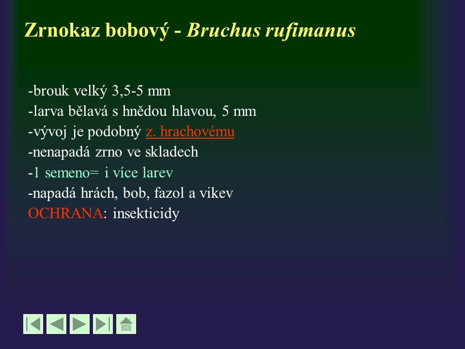 Zrnokaz bobový - Bruchus rufimanus -brouk velký 3,5-5 mm -larva bělavá s hnědou hlavou, 5 mm -vývoj je podobný z. hrachovémuz. hrachovému -nenapadá zr