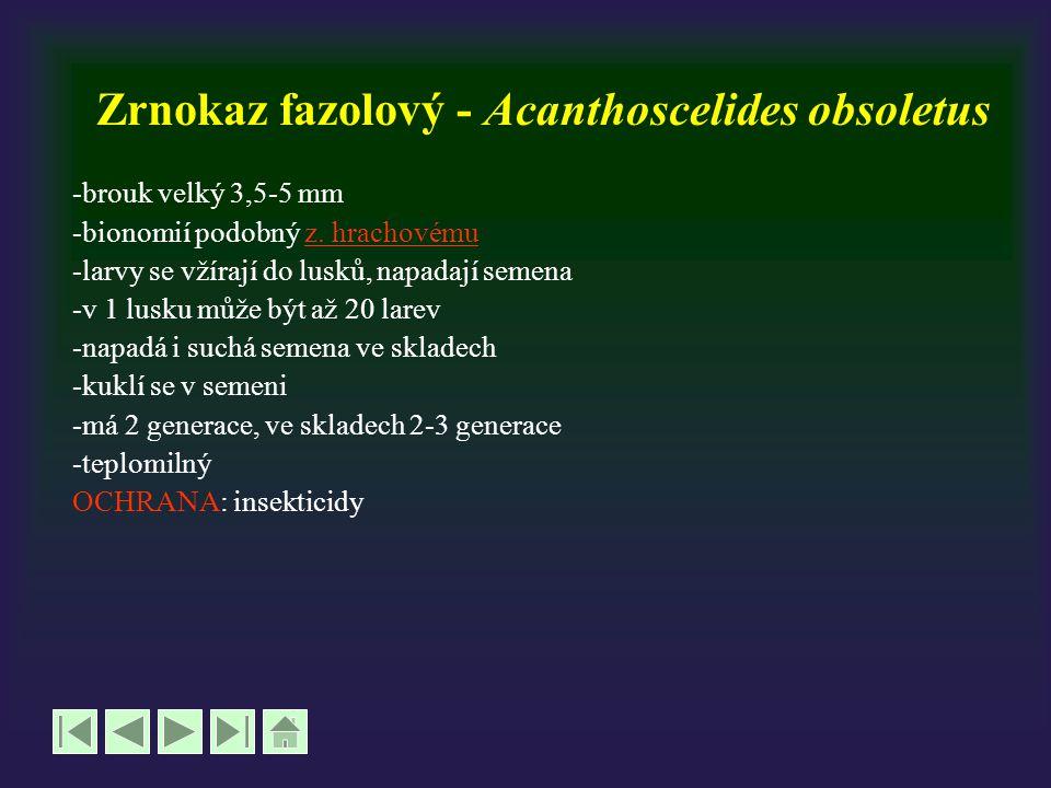 Zrnokaz fazolový - Acanthoscelides obsoletus -brouk velký 3,5-5 mm -bionomií podobný z. hrachovémuz. hrachovému -larvy se vžírají do lusků, napadají s