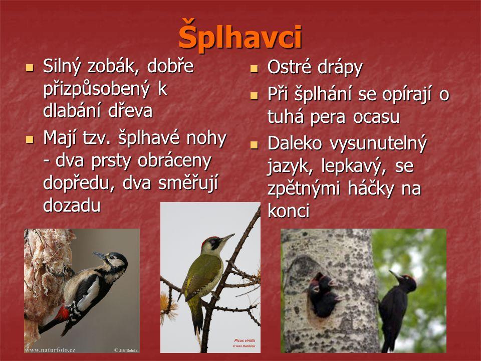 Šplhavci Silný zobák, dobře přizpůsobený k dlabání dřeva Silný zobák, dobře přizpůsobený k dlabání dřeva Mají tzv. šplhavé nohy - dva prsty obráceny d