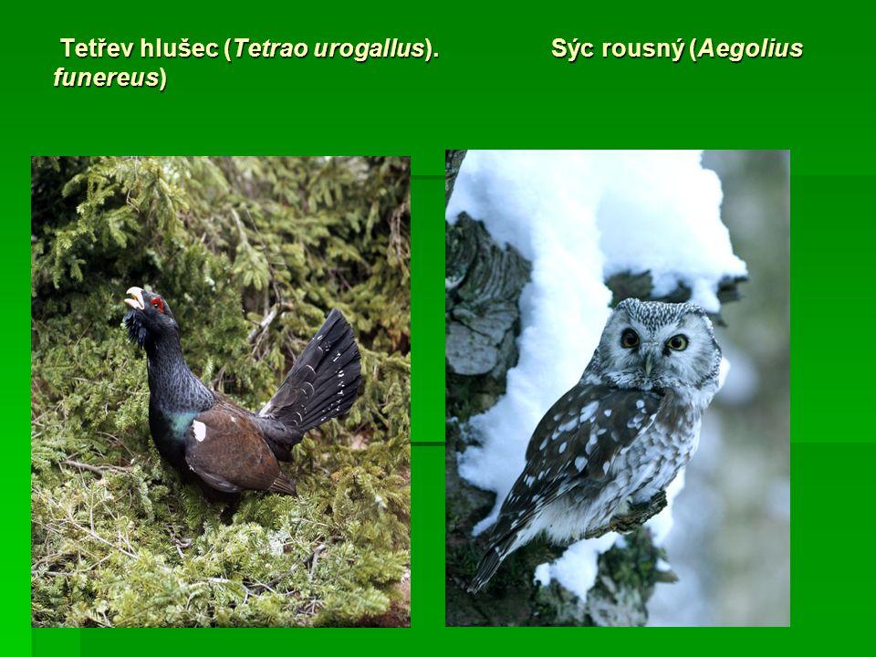 Tetřev hlušec (Tetrao urogallus). Sýc rousný (Aegolius funereus) Tetřev hlušec (Tetrao urogallus). Sýc rousný (Aegolius funereus)