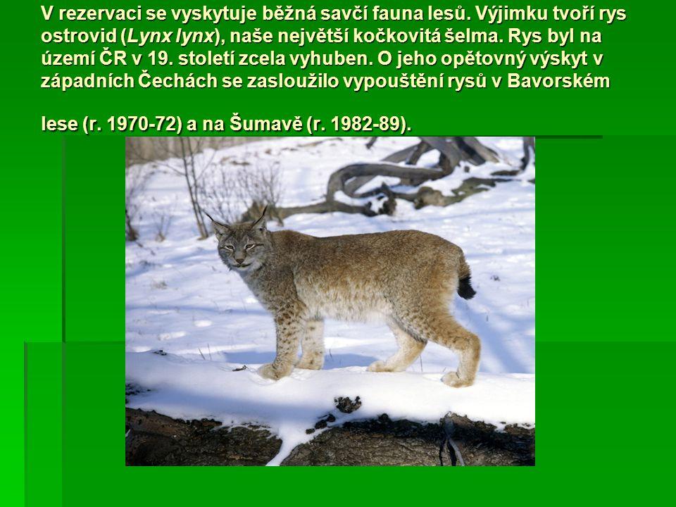 V rezervaci se vyskytuje běžná savčí fauna lesů. Výjimku tvoří rys ostrovid (Lynx lynx), naše největší kočkovitá šelma. Rys byl na území ČR v 19. stol