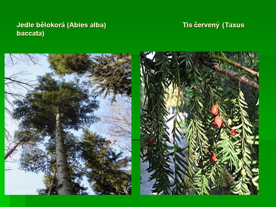 Jedle bělokorá (Abies alba)Tis červený (Taxus baccata)