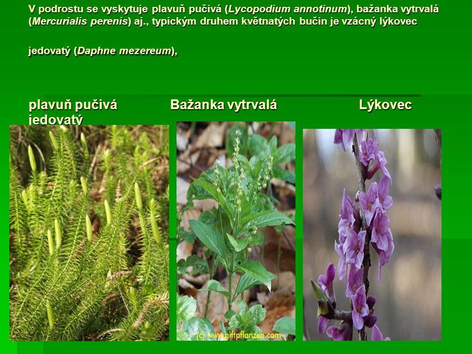 V podrostu se vyskytuje plavuň pučivá (Lycopodium annotinum), bažanka vytrvalá (Mercurialis perenis) aj., typickým druhem květnatých bučin je vzácný l