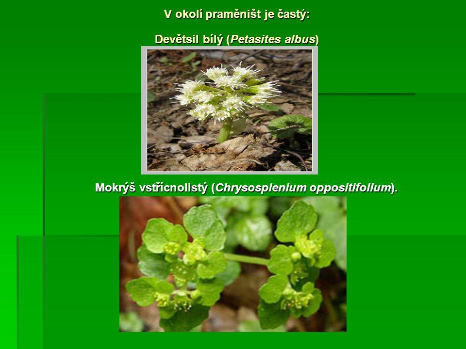 V okolí praměništ je častý: Devětsil bílý (Petasites albus) Mokrýš vstřícnolistý (Chrysosplenium oppositifolium).