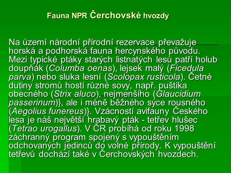 Fauna NPR Čerchovské hvozdy Na území národní přírodní rezervace převažuje horská a podhorská fauna hercynského původu. Mezi typické ptáky starých list