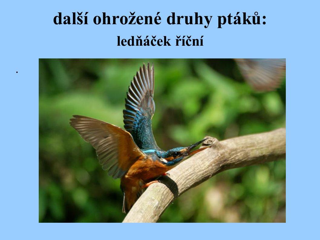 další ohrožené druhy ptáků: ledňáček říční.