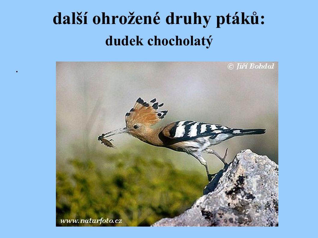 další ohrožené druhy ptáků: dudek chocholatý.