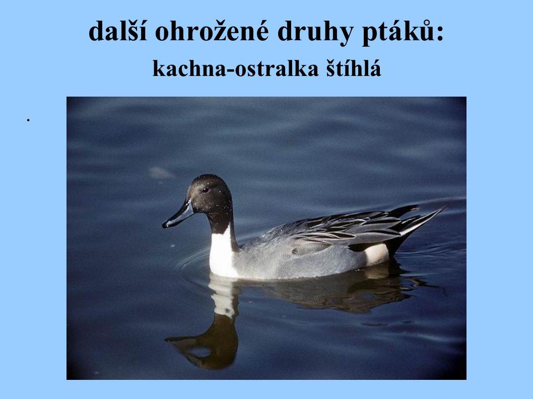 další ohrožené druhy ptáků: kachna-ostralka štíhlá.