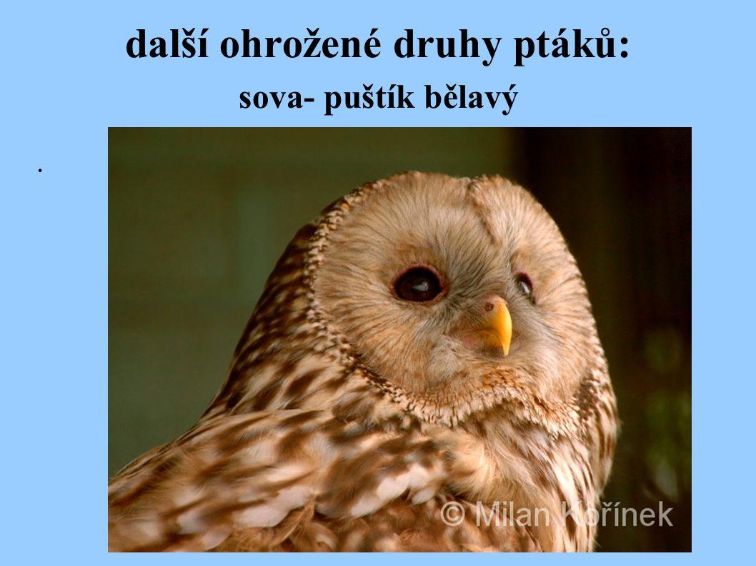další ohrožené druhy ptáků: sova- puštík bělavý.