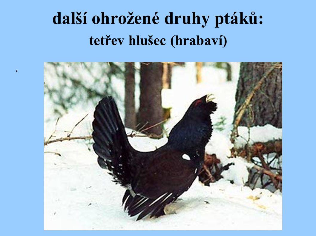 další ohrožené druhy ptáků: tetřev hlušec (hrabaví).