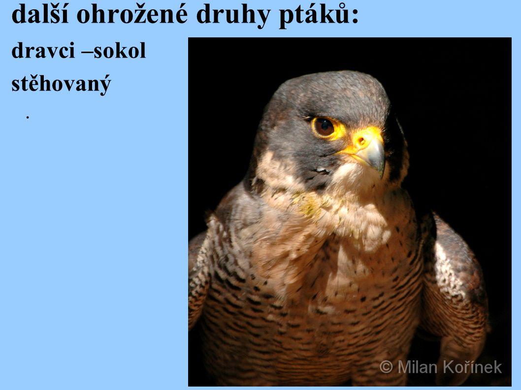 další ohrožené druhy ptáků: dravci –sokol stěhovaný.
