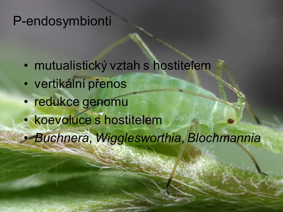 P-endosymbionti mutualistický vztah s hostitelem vertikální přenos redukce genomu koevoluce s hostitelem Buchnera, Wigglesworthia, Blochmannia