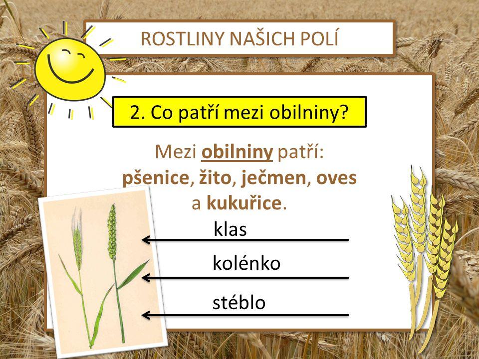ROSTLINY NAŠICH POLÍ Mezi obilniny patří: pšenice, žito, ječmen, oves a kukuřice. Mezi obilniny patří: pšenice, žito, ječmen, oves a kukuřice. 2. Co p