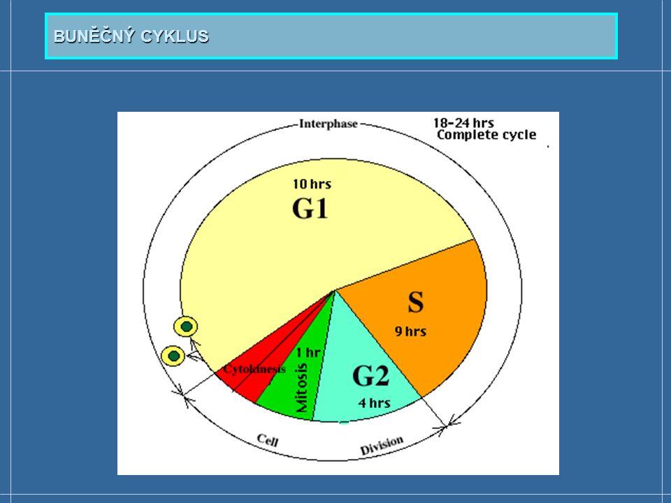  Cykliny a na cyklinech závislé proteinkinázy (Cyclin- Dependent Protein Kinases; Cdk-proteinkinázy) - proteiny, které jsou součástí řídícího systému buněčného cyklu  8 cyklinů (A, B, C, D, E, F, G a H) - v jednotlivých fázích buněčného cyklu jsou přítomny určité typy cyklinů  7 typů Cdk-proteinkináz - Cdk proteiny vykazují odlišné funkce v závislosti na fázích buněčného cyklu  fosforylují seriny a threoniny cílových proteinů  Účinnost Cdk-proteinkináz závisí na vytvoření komlexu s cykliny a na vazbě s PCNA (Proliferating Cell Nuclear Antigen)  Inhibovány jsou působením inhibitorů proteinkináz ŘÍZENÍ BUNĚČNÉHO CYKLU