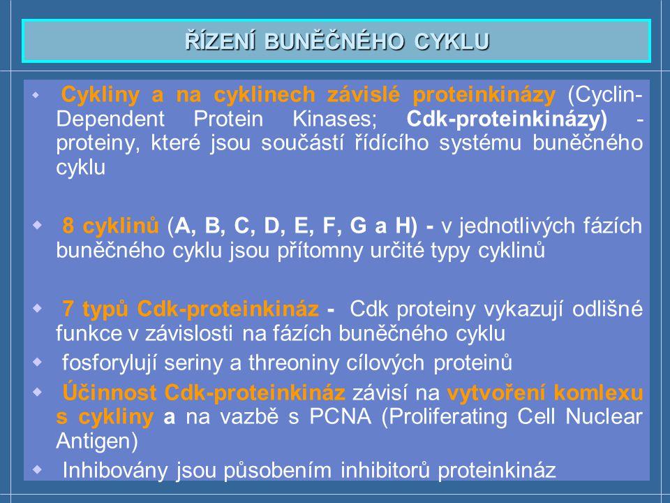 Telofáze a cytokineze Telofáze  Dekondenzace chromosomů  Začíná se tvořit jaderný obal ohraničující chromosomy Cytokineze  Začíná ve chvíli, kdy chromosomy doputují k pólu  Tímto procesem se oddělí cytoplazmy dceřiných buněk  Sesterské chromatidy (druhá molekula DNA) se dosyntetizuje až v S-fázi