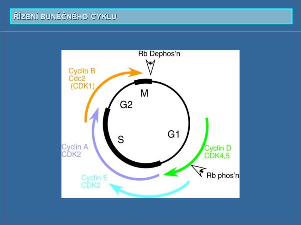  Tumor-supresorový gen Rb1 - aktivní téměř ve všech somatických buňkách; v průběhu buněčného cyklu se střídá fosforylace a defosforylace Rb proteinu  Rb protein (pRb) - jaderný transkripční faktor, regulace buněčného cyklu, diferenciace, indukce apoptózy  Inhibiční usměrňování přechodu z G 1 do S fáze  Nefosforylovaný pRb je aktivní - váže se s multifunkčními transkripčními faktory rodiny E2F - inhibuje jejich činnost  Komplex pRB-E2F potlačuje např.