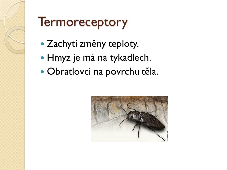 Termoreceptory Zachytí změny teploty. Hmyz je má na tykadlech. Obratlovci na povrchu těla.