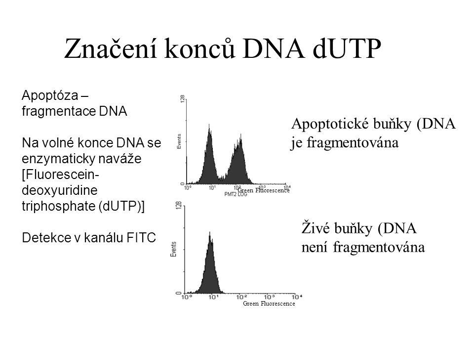 Značení konců DNA dUTP Green Fluorescence Apoptóza – fragmentace DNA Na volné konce DNA se enzymaticky naváže [Fluorescein- deoxyuridine triphosphate (dUTP)] Detekce v kanálu FITC Apoptotické buňky (DNA je fragmentována Živé buňky (DNA není fragmentována